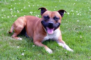 brown and white staffordshire bull terrier sitting in grass