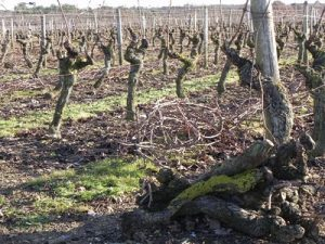 Vineyard in the Pays de la Loire region of France