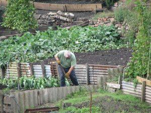 Gardener working in allotment