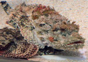 underwater-scorpion fish