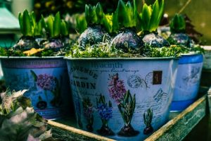 Growing bulbs-flowery pots-tray